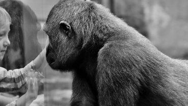 gorilla-2322005_960_720