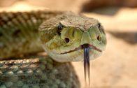 rattlesnake-653642_960_720