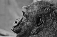 gorilla-2895759_960_720