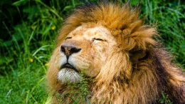 african-lion-951778_960_720