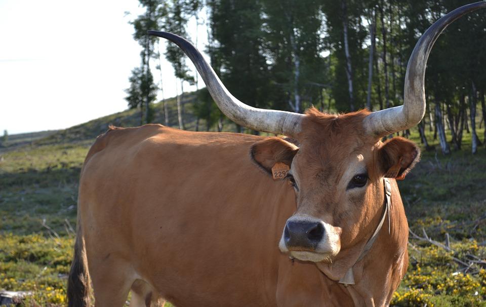 cow-578757_960_720